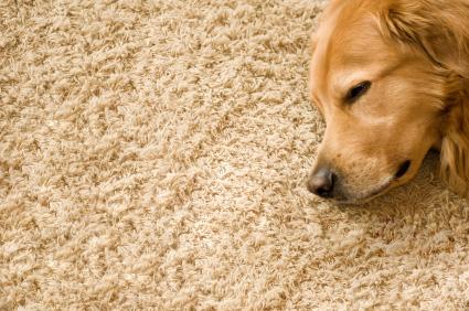 Pies śpiący na sznurkowym dywanie